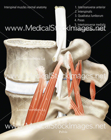 Interspinal- Muscle Normal Anatomy with Labels and Black Background