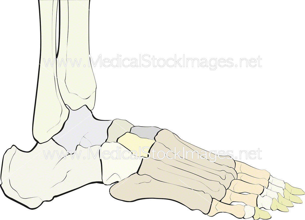 Skeletal Anatomy of the Foot – Medical Stock Images Company
