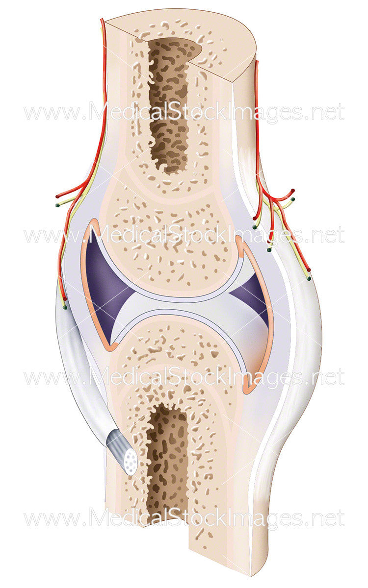 Synovial joint anatomy 5766187 - follow4more.info