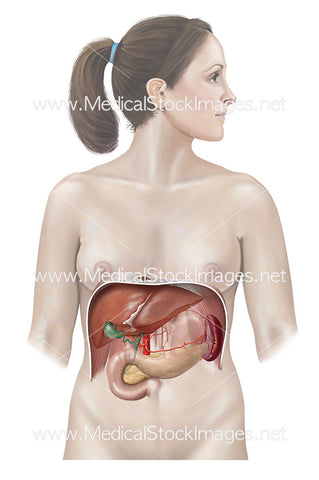 Female Figure with Liver, Pancreas and Stomach Anatomy