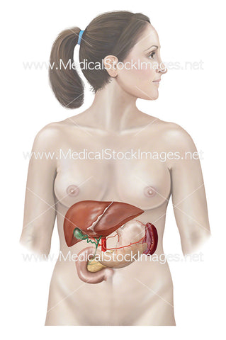 Anatomy of Liver, Stomach, Pancreas and Spleen