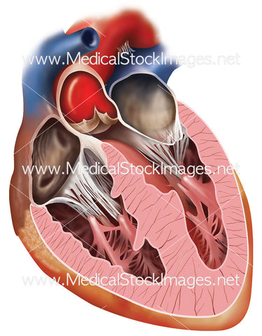 Heart with Aorta Valve Closed