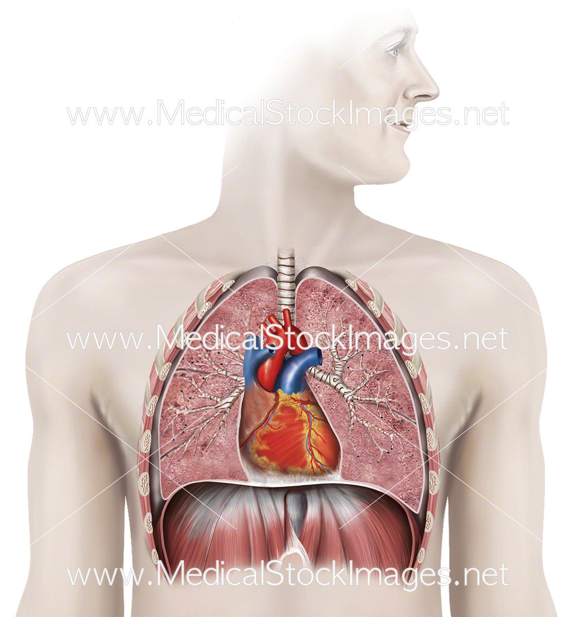 Healthy Heart and Lungs in situ – Medical Stock Images Company
