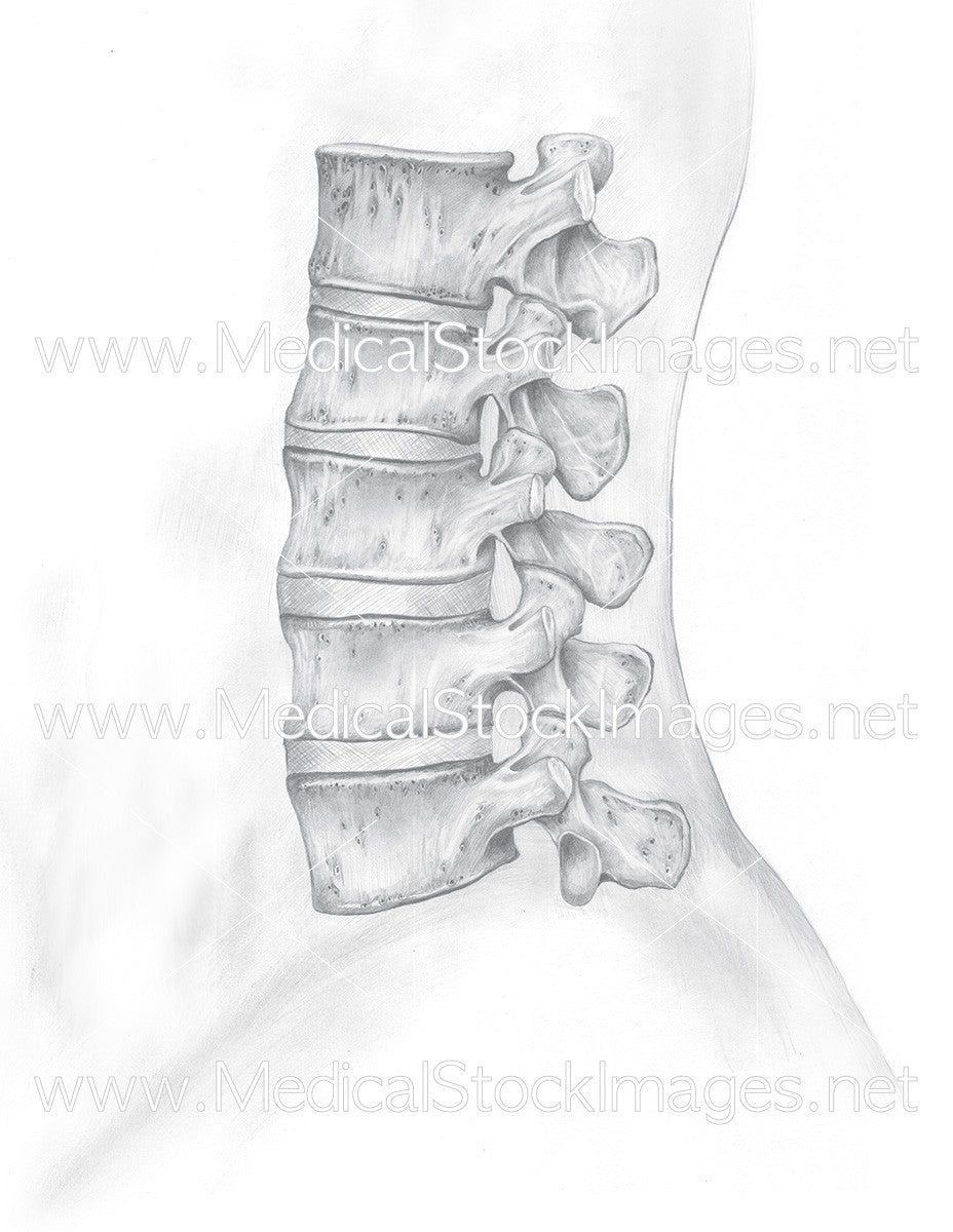 Pencil drawing of lumbar spine l1 l5 medical stock images company