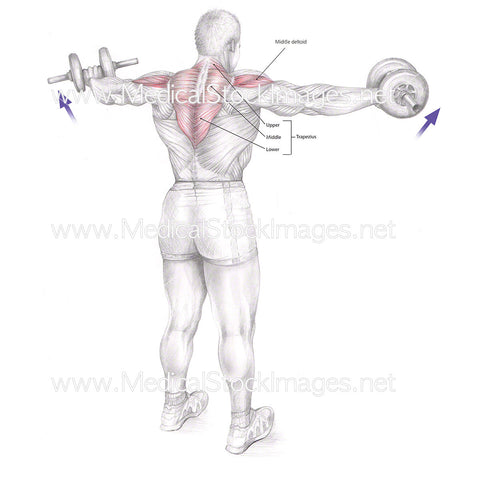 Muscles Involved in Lateral Raise with Dumbbells - Labelled
