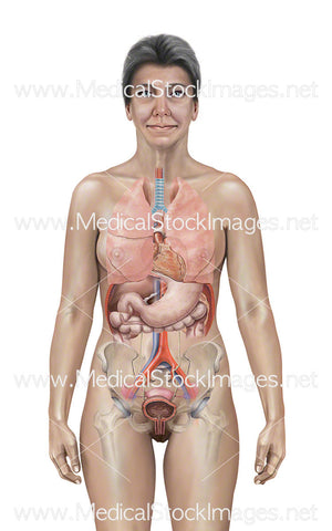 Internal Anatomy of a Menopausal Woman