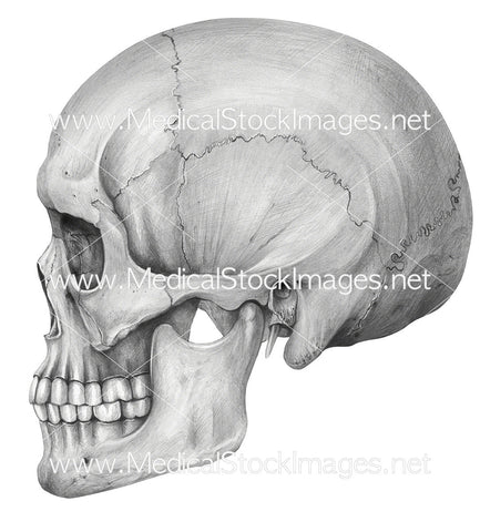 The Skull Lateral View