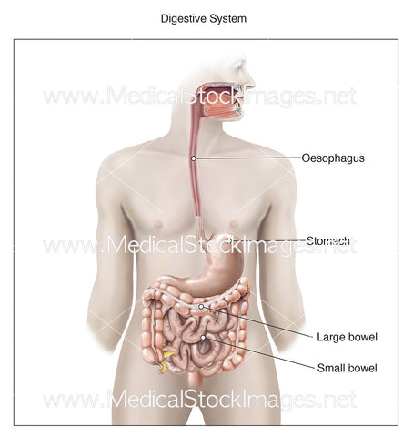 Digestive System - Labelled