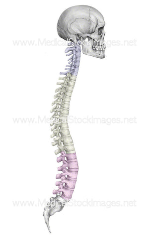 Skull and Spine with Colour-Coding