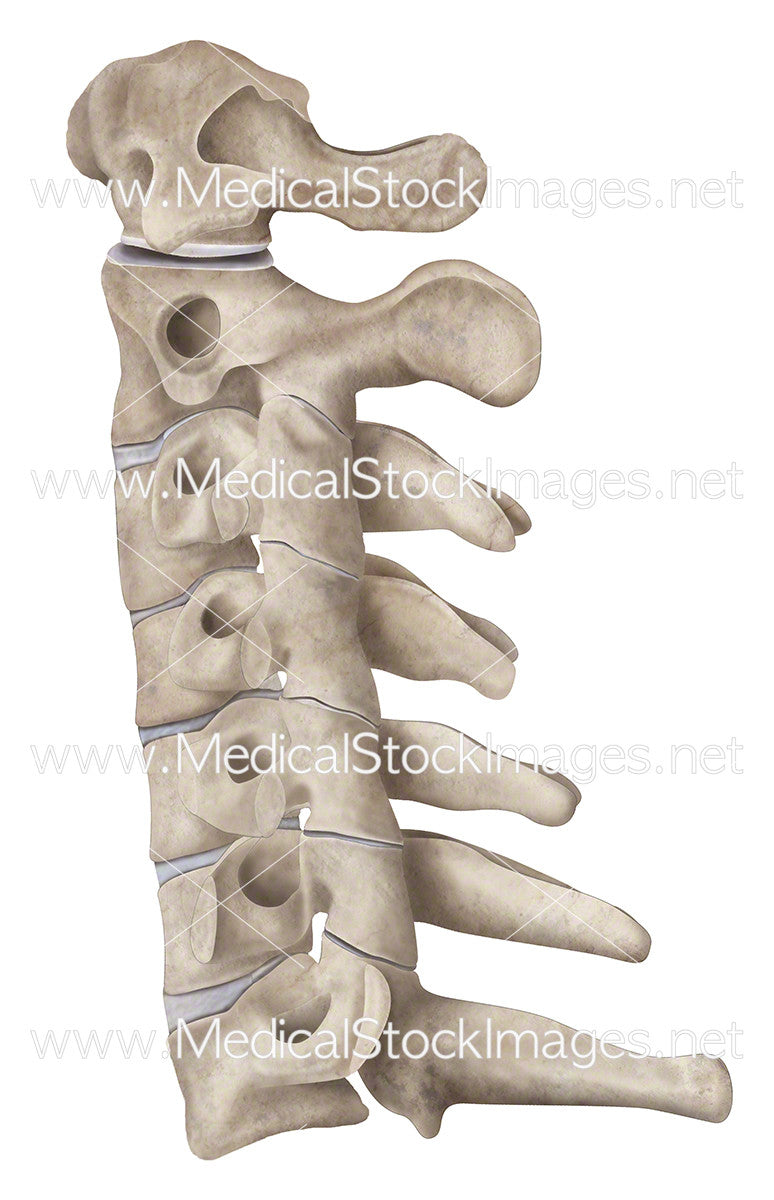 Cervical Region Medical Stock Images Company