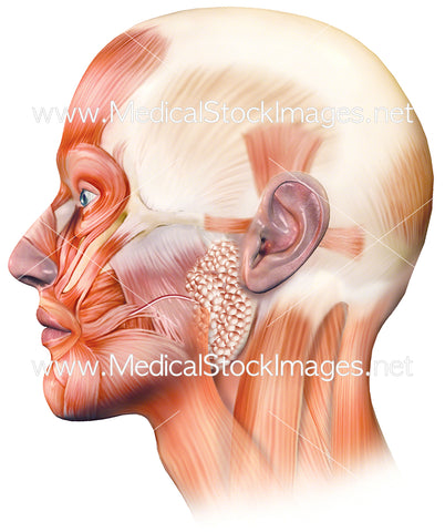 Superficial muscles of face and the neck - lateral view