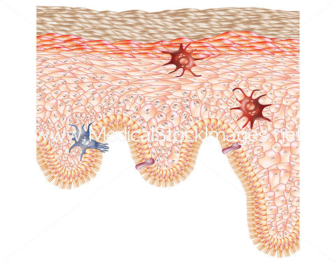 Skin Care and Treatment - The Epidermis