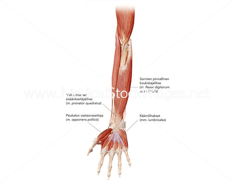 Deep Flexor Muscles of Forearm and Hand Labelled in Finnish