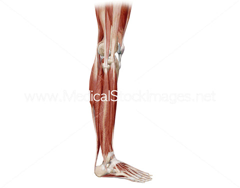 Lower Limb Muscles