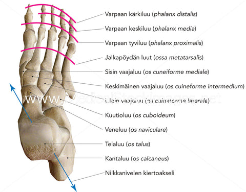 Bones of Foot and Axis of Rotation of Ankle Joint Labelled in Finnish