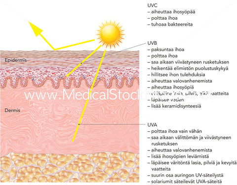 Sun Ultraviolet Radiation Skin Penetration and Skin Effects - labelled in Finnish