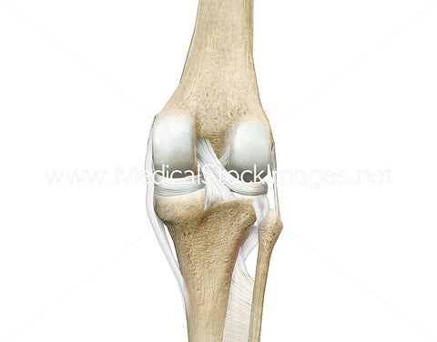 Knee Joint Posterior View