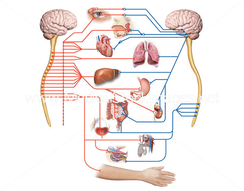 Sympathetic Nervous System and Parasympathetic Nervous System