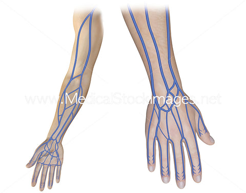 Superficial Veins of the Upper Limb