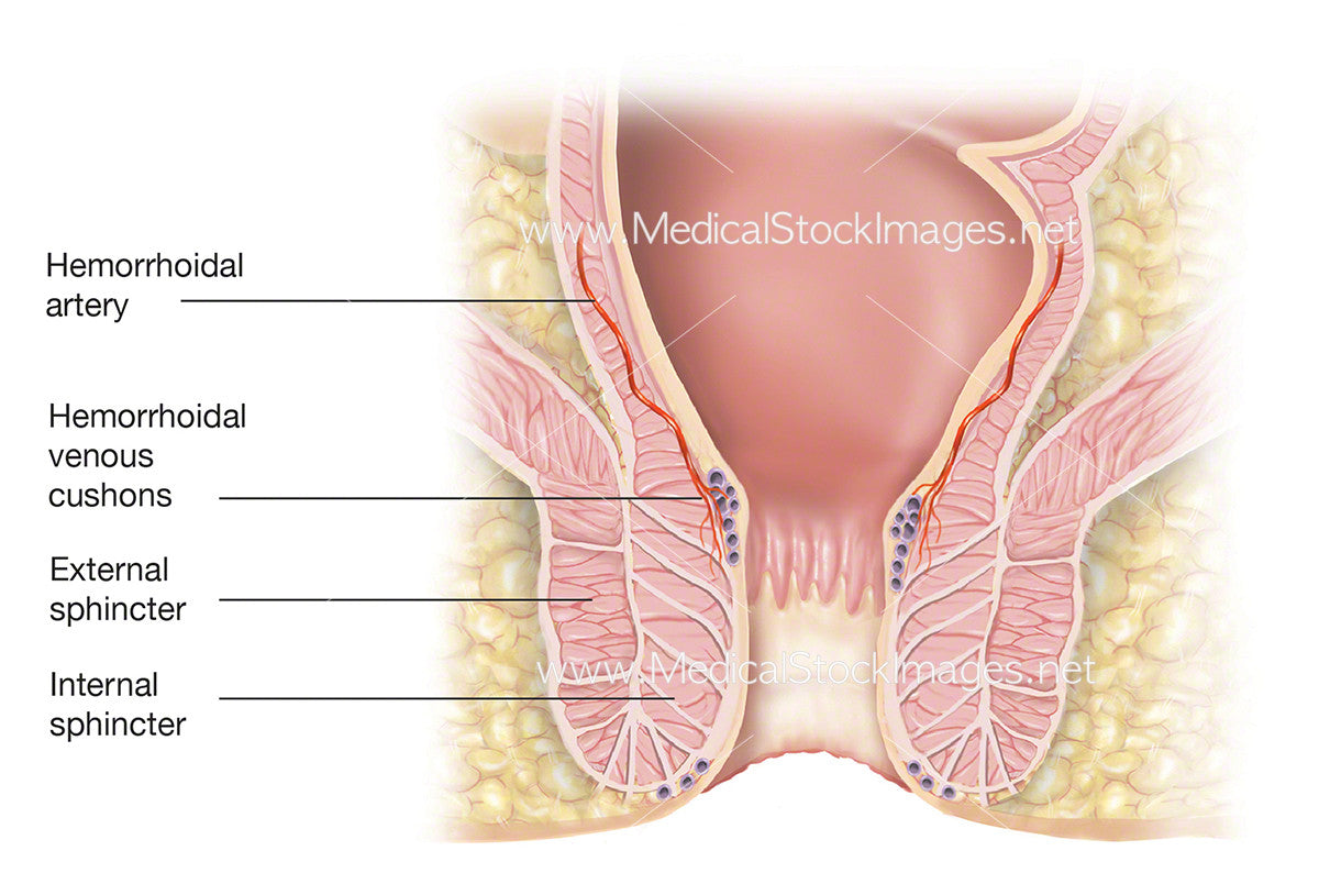 Anal Sphincter With Hemorrhoidal Artery Labelled Medical Stock