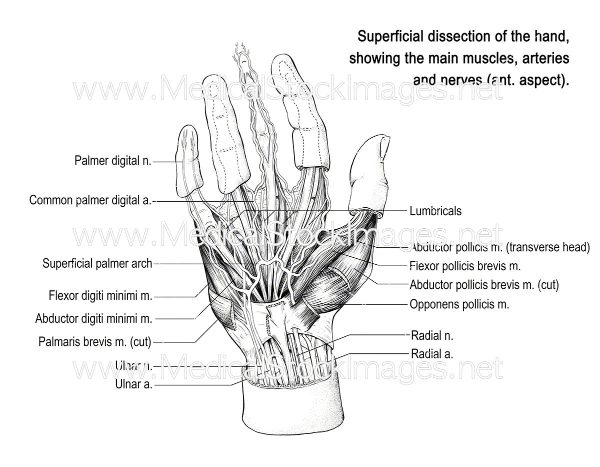 Hand Anatomy (Labelled) – Medical Stock Images Company