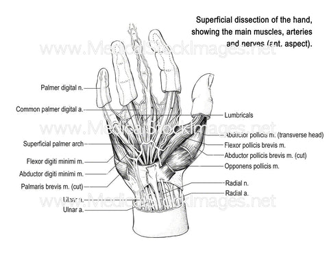Hand Anatomy (Labelled)