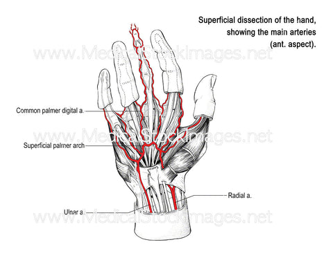 Arteries of the Hand (Labelled)