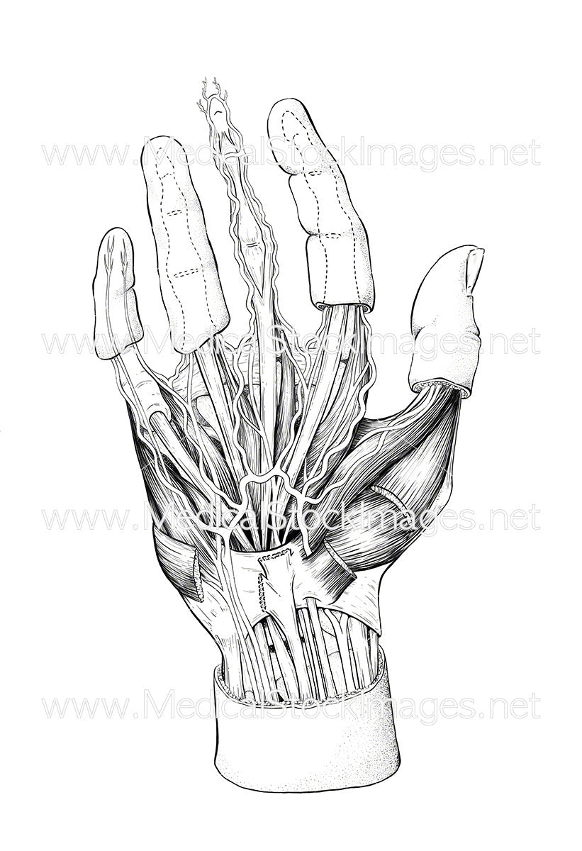 Hand Anatomy (Unlabelled) – Medical Stock Images Company