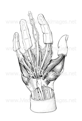 Hand Anatomy (Unlabelled)