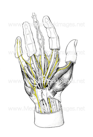 Nerves of the Hand (Unlabelled)