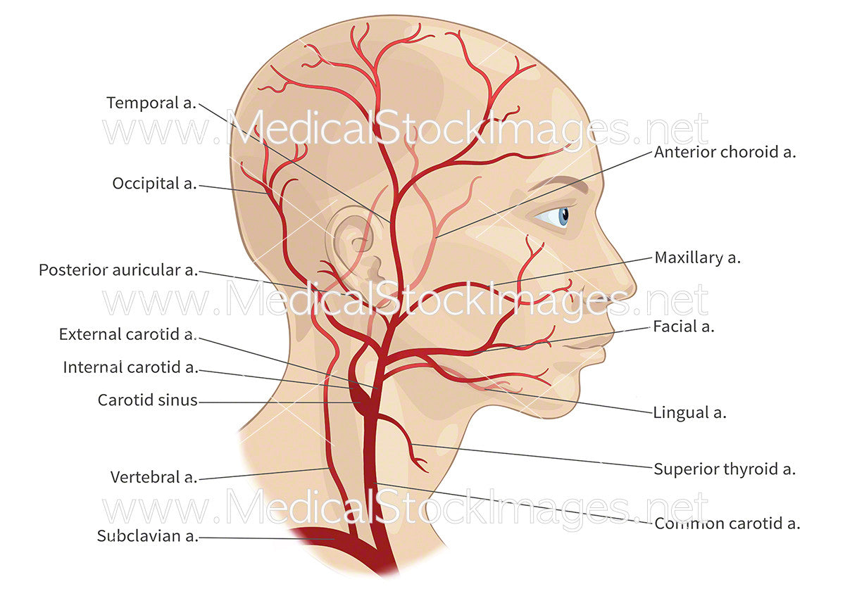Major Arteries of the Head and Neck (labelled) – Medical Stock ...
