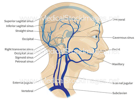 Major Veins of the Head and Neck (labelled)