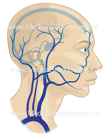 Major Veins of the Head and Neck