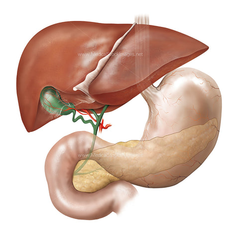 Anatomy of the Gallbladder with Surrounding Anatomy