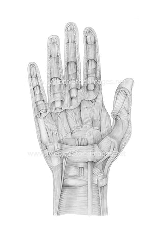 Pencil Drawing of Hand Dissection Palmer View