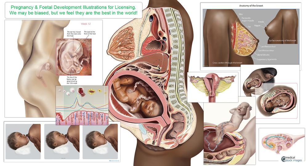 human skeleton and muscle medical illustration