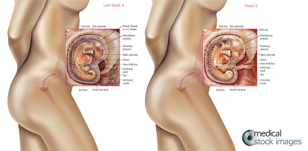 fetal medical illustration