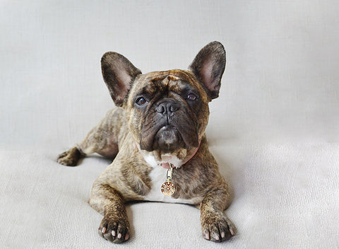 Coco the Frenchie wears a Starburst PugPendant by Canine Chic of London