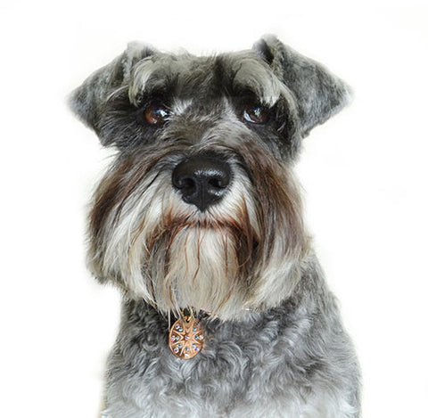 Possu the Schnauzer wears a Starburst PugPendant from Canine Chic of London