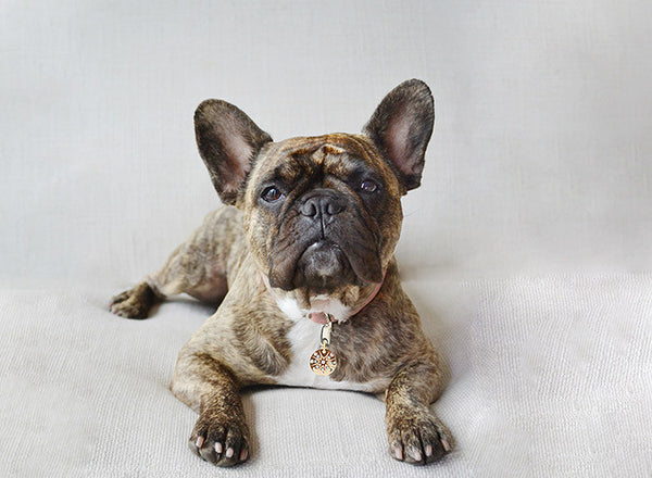 French bulldog wears a PugPendant, luxury identity pendant from Canine chic of London