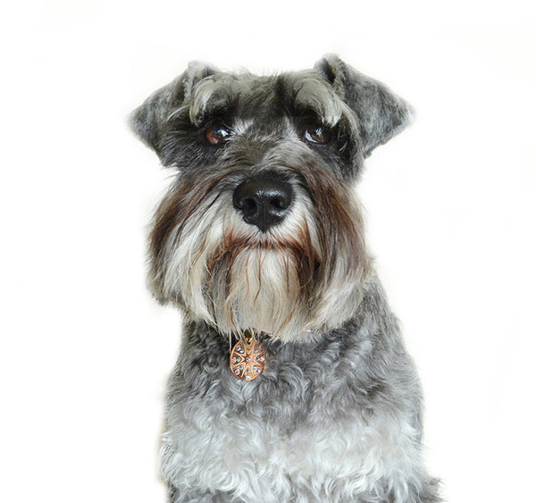 schnauzer wears a PugPendant, luxury identity pendant from Canine chic of London