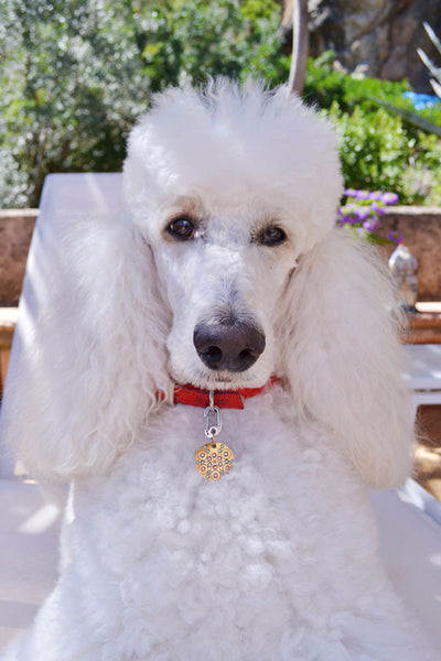 Standard Poodle wears a PugPendant from Canine Chic of London
