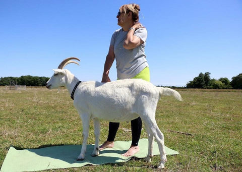 Goat yoga session