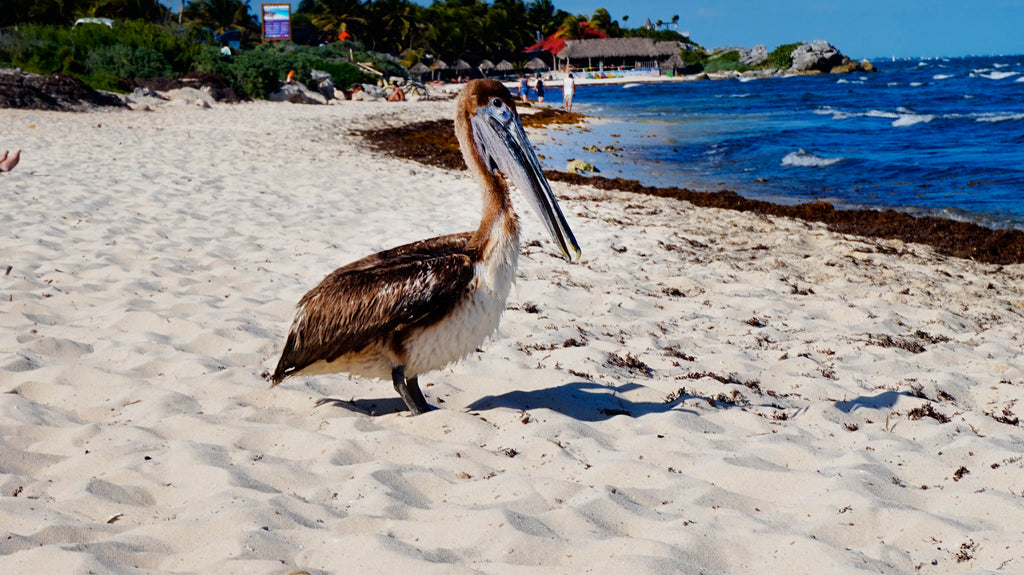 Pelican in Tulum