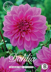 Dahlias pink flower head available to buy in the UK Dutch Garden Bulbs