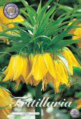 Fitillary yellow flower head Fritillaria bulbs for sale UK