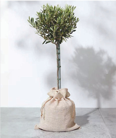 Olive tree Olea europaea standard olive tree Dutch Garden Bulbs UK