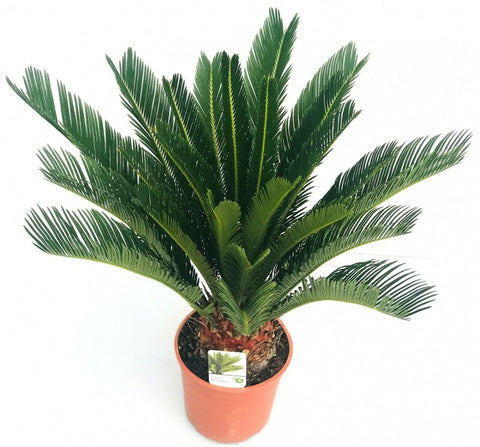 Cycas revoluta Sago Palm in a pot Dutch Garden Bulbs UK