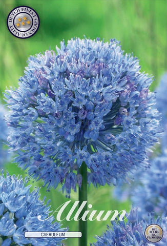 Allium caeruleum bulbs to buiy online Dutch Garden Bulbs UK