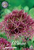 Allium christophii Allium bulbs available to buy in the UK Dutch Garden Bulbs